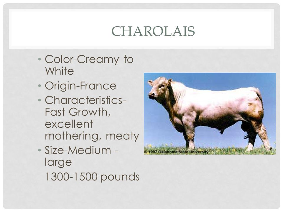 CHAROLAIS Color-Creamy to White Origin-France Characteristics- Fast Growth, excellent mothering, meaty Size-Medium - large 1300-1500 pounds