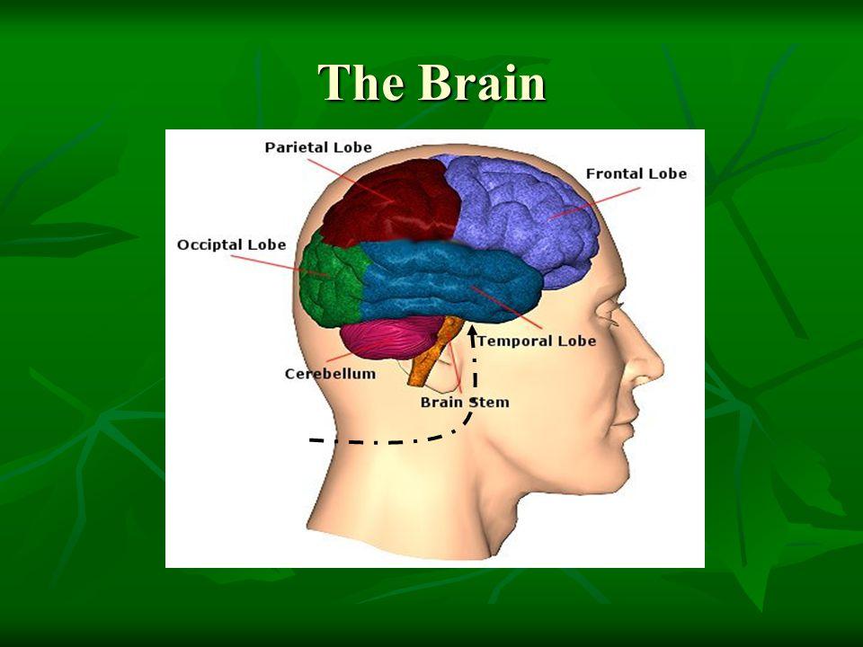The Brain Limbic System