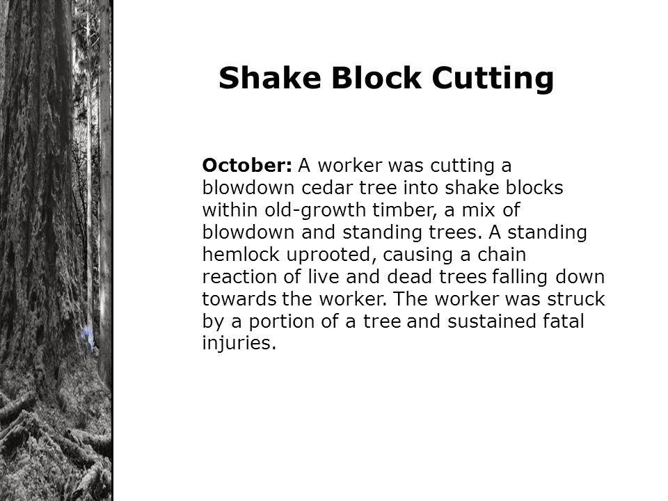 October: A worker was cutting a blowdown cedar tree into shake blocks within old-growth timber, a mix of blowdown and standing trees. A standing hemlo