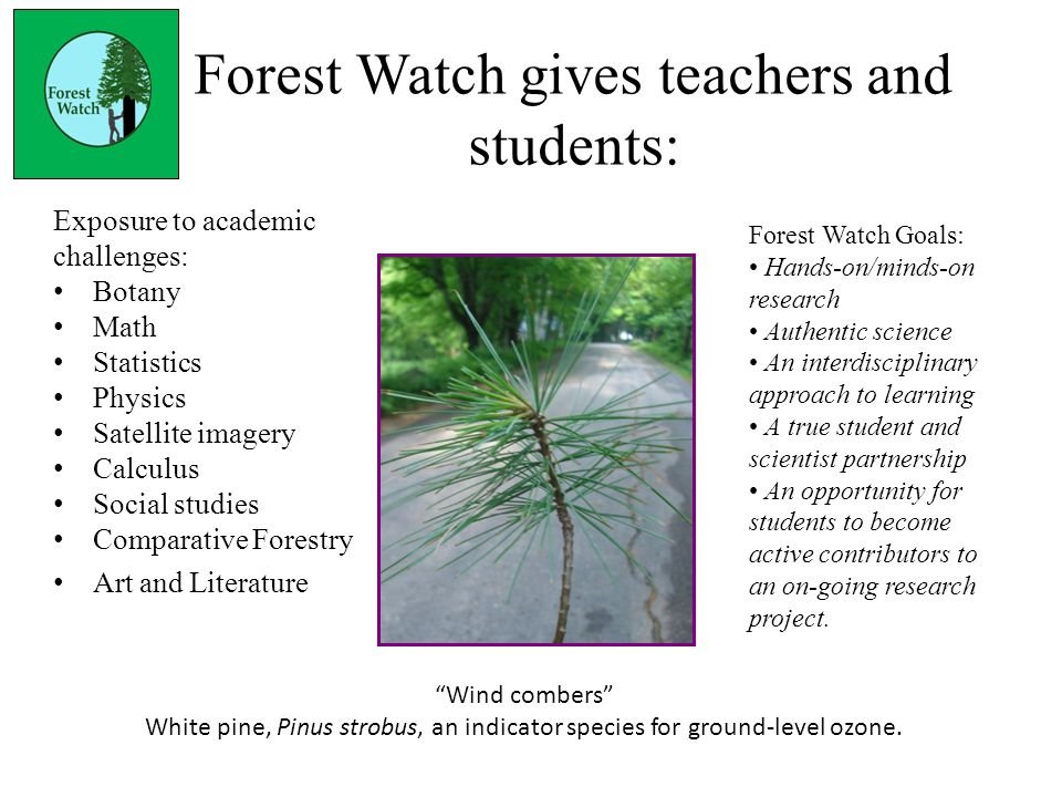 Forest Watch gives teachers and students: Exposure to academic challenges: Botany Math Statistics Physics Satellite imagery Calculus Social studies Comparative Forestry Art and Literature Wind combers White pine, Pinus strobus, an indicator species for ground-level ozone.