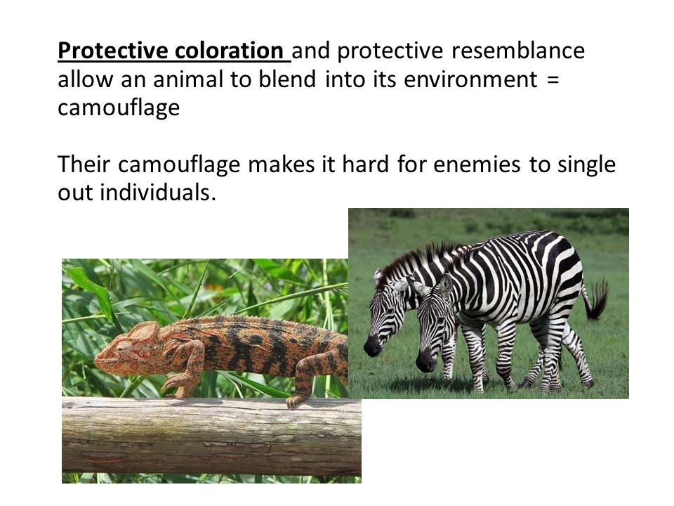 Protective coloration and protective resemblance allow an animal to blend into its environment = camouflage Their camouflage makes it hard for enemies