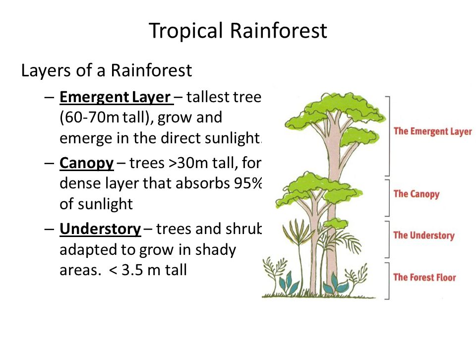 Tropical Rainforest Layers of a Rainforest – Emergent Layer – tallest trees (60-70m tall), grow and emerge in the direct sunlight. – Canopy – trees >3