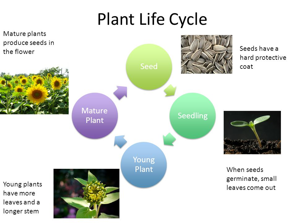 Plant Life Cycle SeedSeedling Young Plant Mature Plant Seeds have a hard protective coat When seeds germinate, small leaves come out Young plants have
