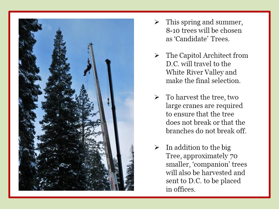  This spring and summer, 8-10 trees will be chosen as 'Candidate' Trees.