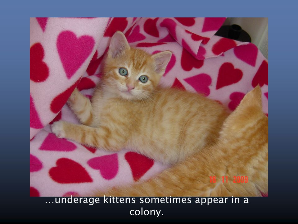 …underage kittens sometimes appear in a colony.