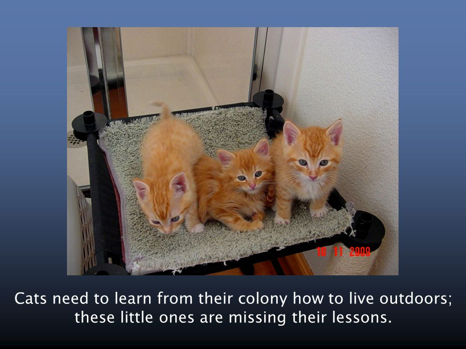 Cats need to learn from their colony how to live outdoors; these little ones are missing their lessons.