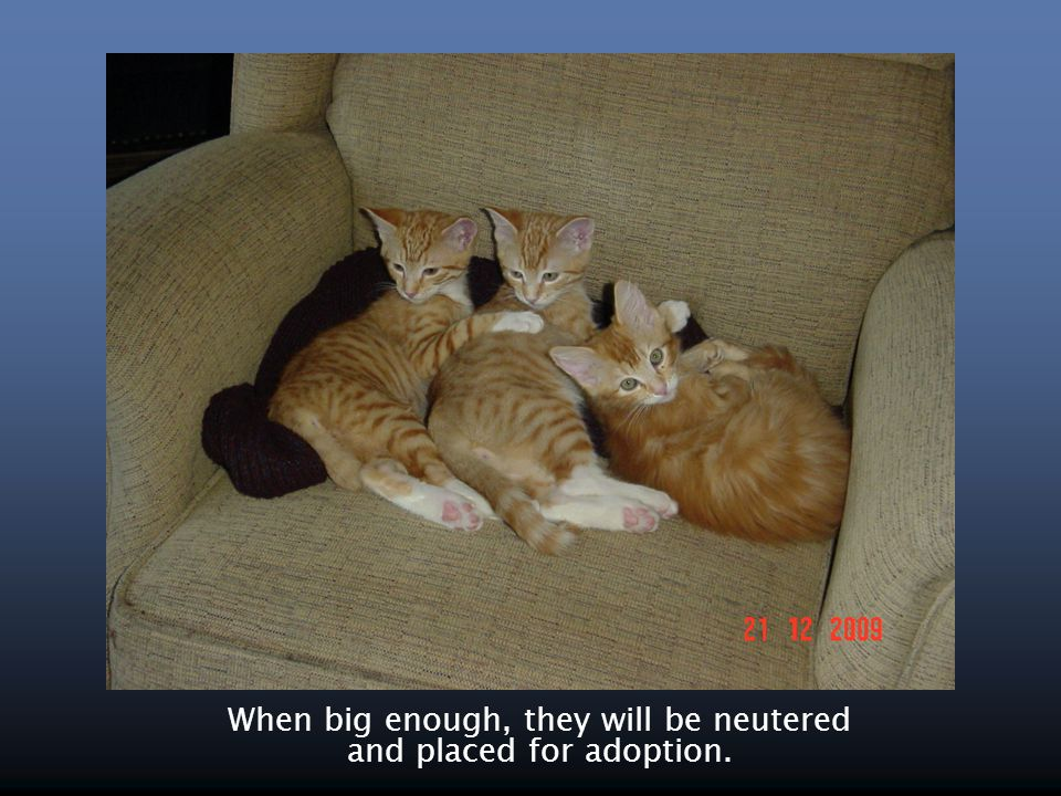 When big enough, they will be neutered and placed for adoption.