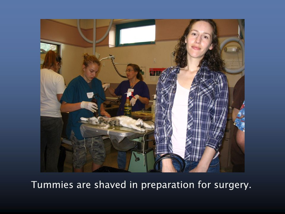 Tummies are shaved in preparation for surgery.