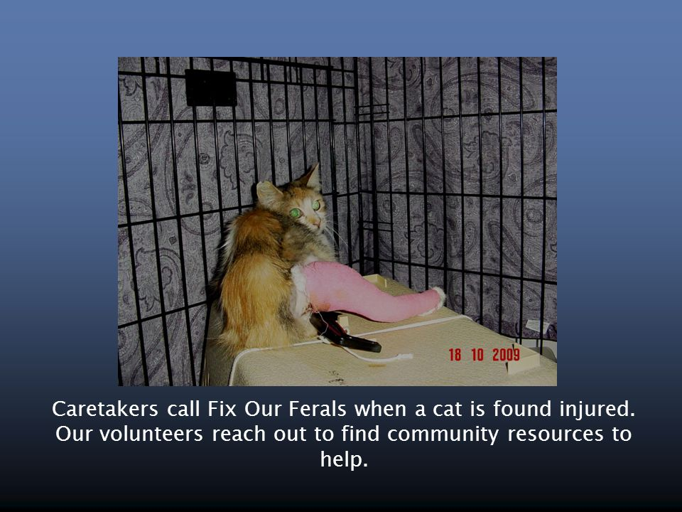 Caretakers call Fix Our Ferals when a cat is found injured. Our volunteers reach out to find community resources to help.