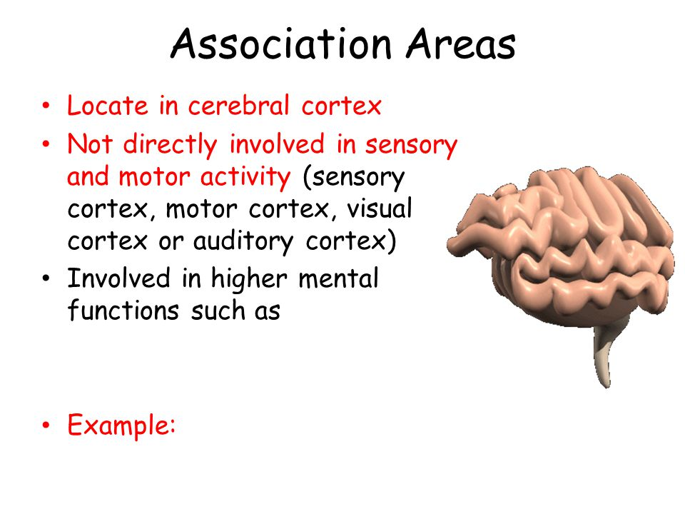 Association Areas Locate in cerebral cortex Not directly involved in sensory and motor activity (sensory cortex, motor cortex, visual cortex or audito