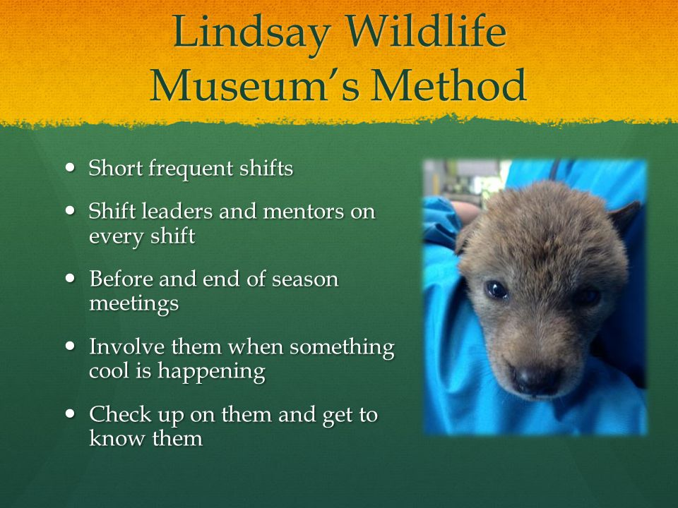Lindsay Wildlife Museum's Method Short frequent shifts Short frequent shifts Shift leaders and mentors on every shift Shift leaders and mentors on every shift Before and end of season meetings Before and end of season meetings Involve them when something cool is happening Involve them when something cool is happening Check up on them and get to know them Check up on them and get to know them