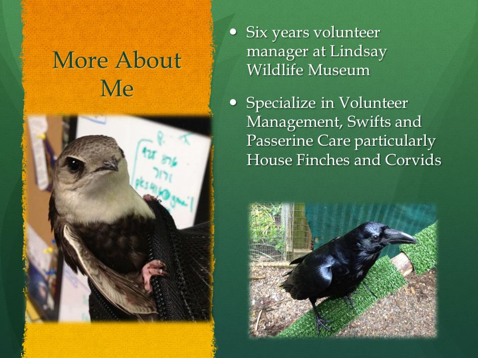 More About Me Six years volunteer manager at Lindsay Wildlife Museum Six years volunteer manager at Lindsay Wildlife Museum Specialize in Volunteer Management, Swifts and Passerine Care particularly House Finches and Corvids Specialize in Volunteer Management, Swifts and Passerine Care particularly House Finches and Corvids