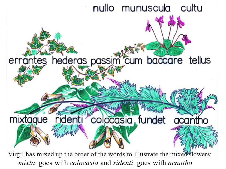 Virgil has mixed up the order of the words to illustrate the mixed flowers: mixta goes with colocasia and ridenti goes with acantho