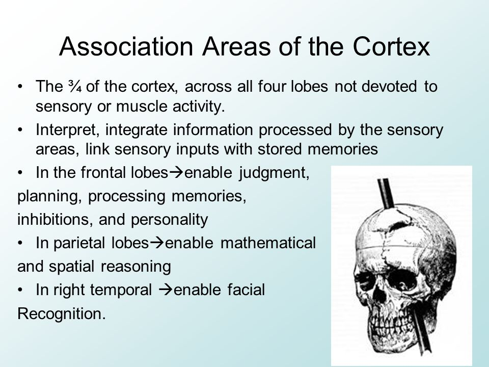 Association Areas of the Cortex The ¾ of the cortex, across all four lobes not devoted to sensory or muscle activity.
