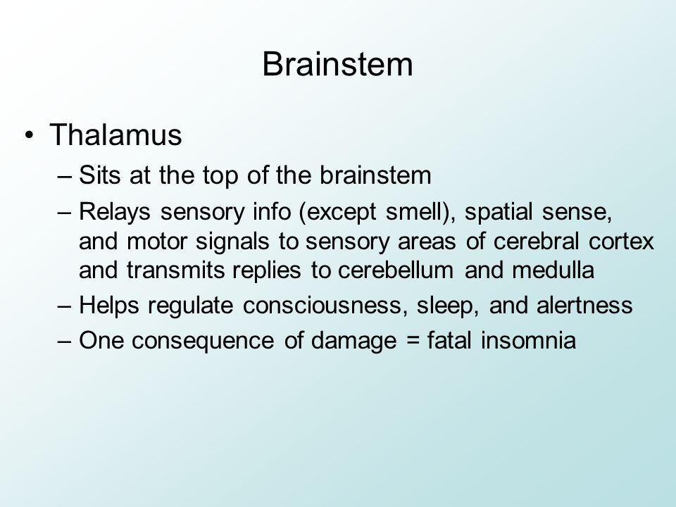 Brainstem Thalamus –Sits at the top of the brainstem –Relays sensory info (except smell), spatial sense, and motor signals to sensory areas of cerebra