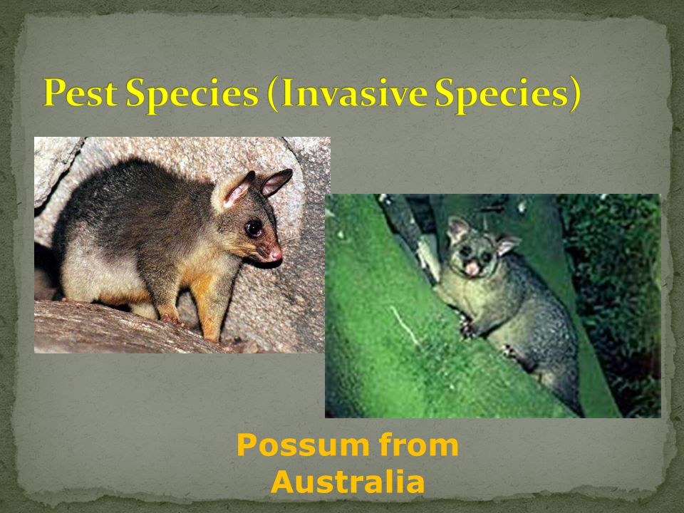 Possum from Australia