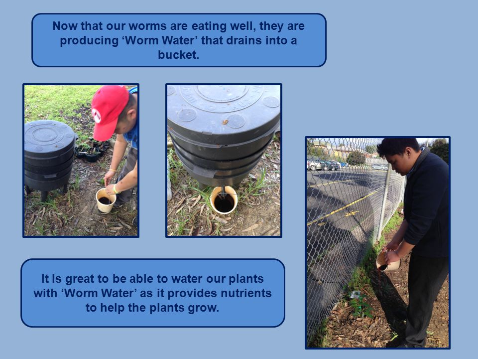 Now that our worms are eating well, they are producing 'Worm Water' that drains into a bucket.
