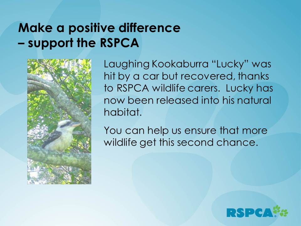 Make a positive difference – support the RSPCA Laughing Kookaburra Lucky was hit by a car but recovered, thanks to RSPCA wildlife carers.