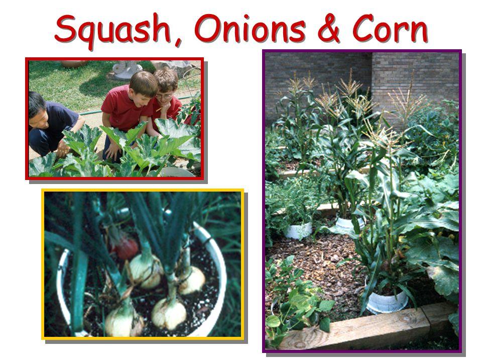 Squash, Onions & Corn