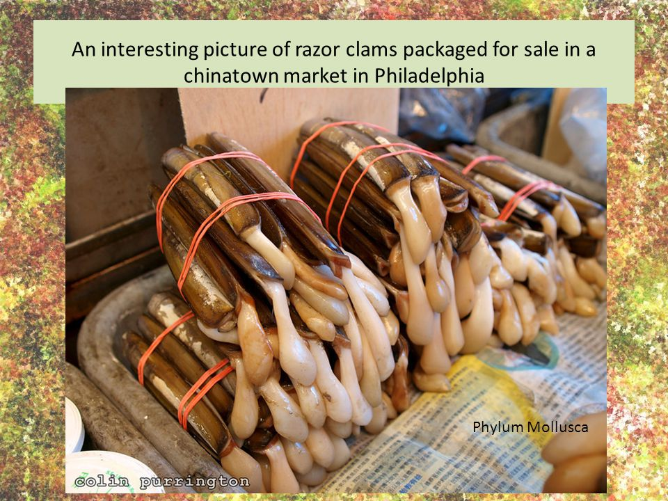 An interesting picture of razor clams packaged for sale in a chinatown market in Philadelphia Phylum Mollusca