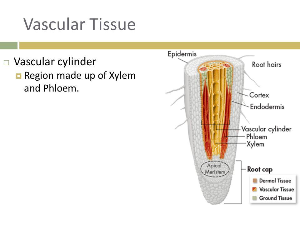 Vascular Tissue  Vascular cylinder  Region made up of Xylem and Phloem.