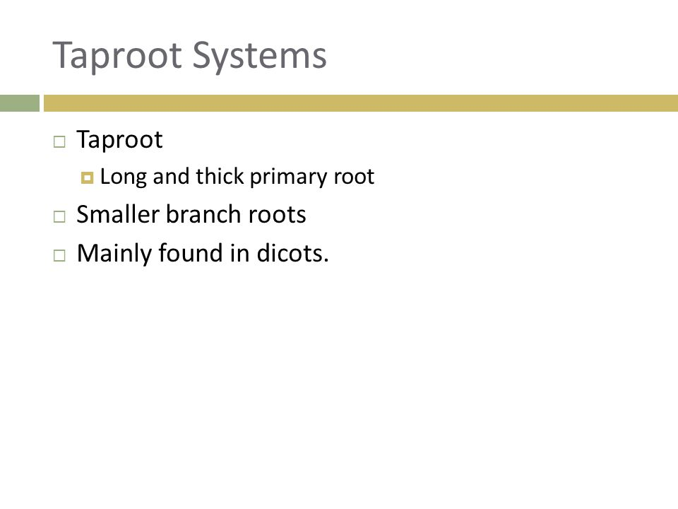 Taproot Systems  Taproot  Long and thick primary root  Smaller branch roots  Mainly found in dicots.