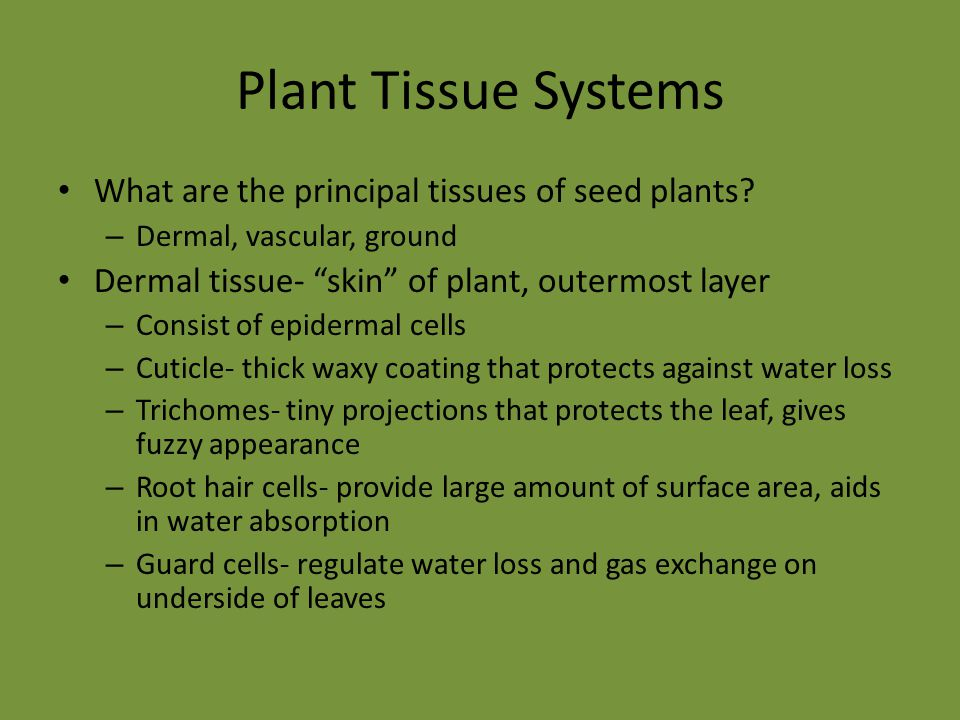 "Plant Tissue Systems What are the principal tissues of seed plants? – Dermal, vascular, ground Dermal tissue- ""skin"" of plant, outermost layer – Consi"