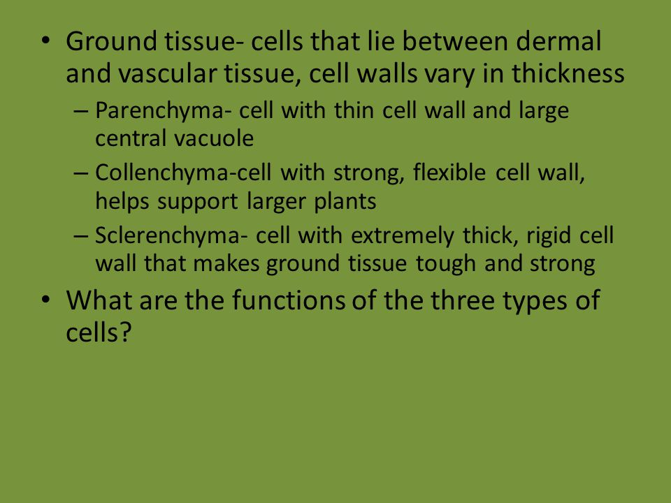 Ground tissue- cells that lie between dermal and vascular tissue, cell walls vary in thickness – Parenchyma- cell with thin cell wall and large centra