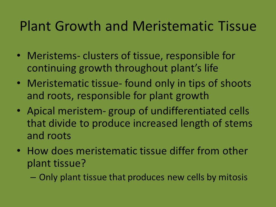 Plant Growth and Meristematic Tissue Meristems- clusters of tissue, responsible for continuing growth throughout plant's life Meristematic tissue- fou