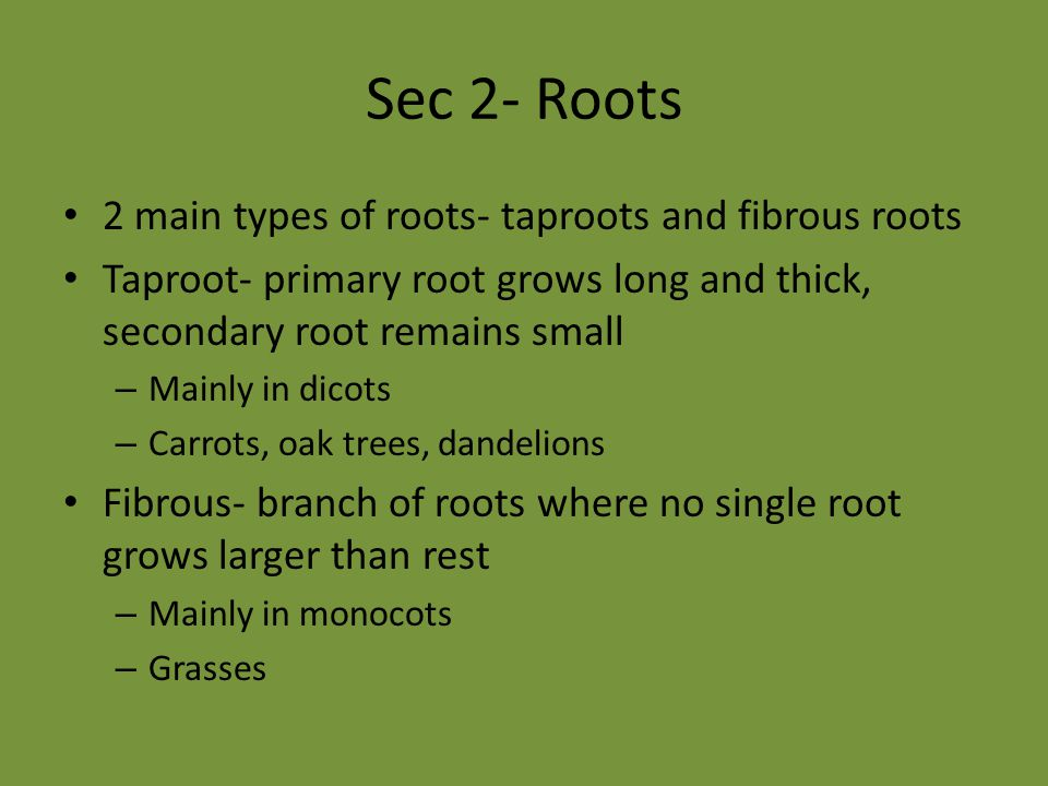 Sec 2- Roots 2 main types of roots- taproots and fibrous roots Taproot- primary root grows long and thick, secondary root remains small – Mainly in di