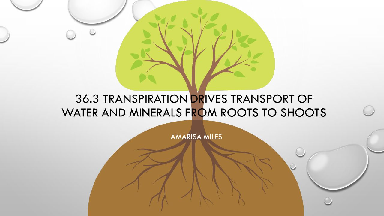 36.3 TRANSPIRATION DRIVES TRANSPORT OF WATER AND MINERALS FROM ROOTS TO SHOOTS AMARISA MILES