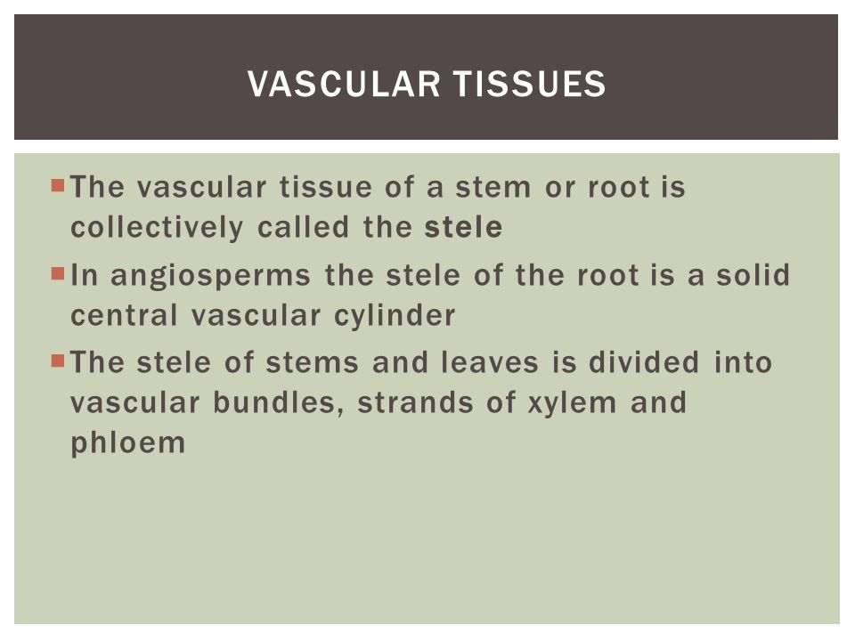  The vascular tissue of a stem or root is collectively called the stele  In angiosperms the stele of the root is a solid central vascular cylinder 