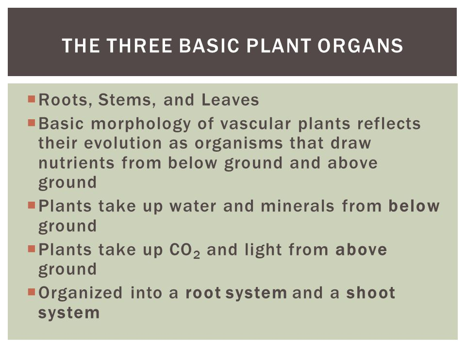  Roots, Stems, and Leaves  Basic morphology of vascular plants reflects their evolution as organisms that draw nutrients from below ground and above