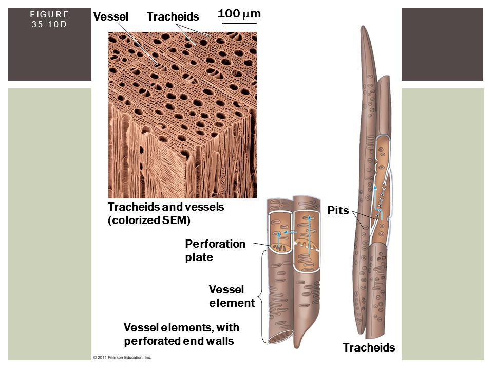 FIGURE 35.10D Vessel Tracheids 100  m Tracheids and vessels (colorized SEM) Perforation plate Vessel element Vessel elements, with perforated end wal