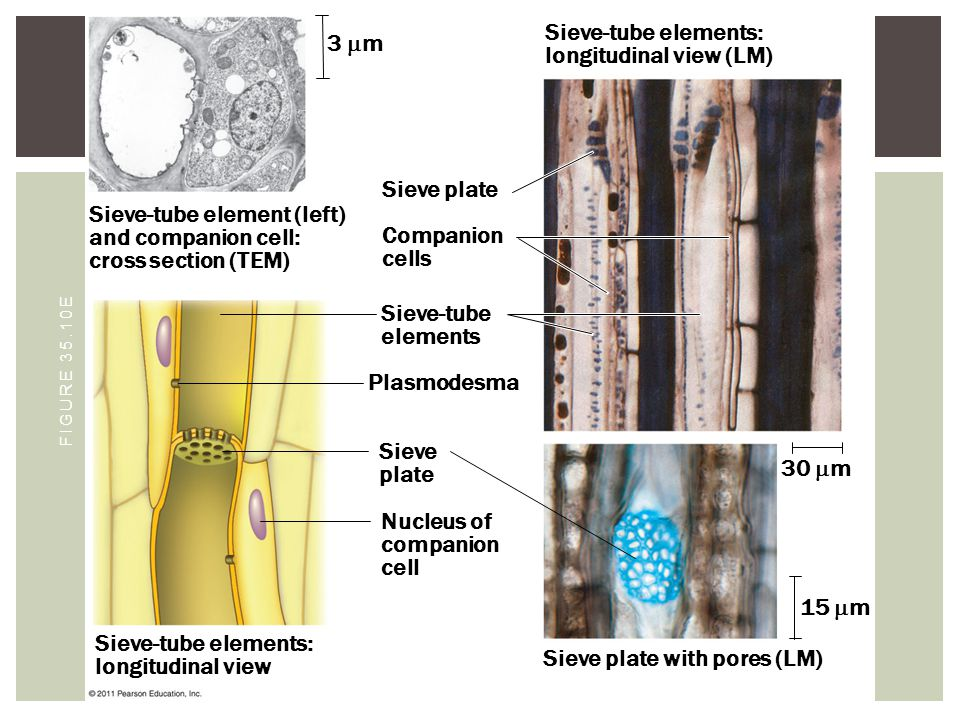 Sieve-tube element (left) and companion cell: cross section (TEM) Sieve-tube elements: longitudinal view Sieve plate 3  m Companion cells Sieve-tube