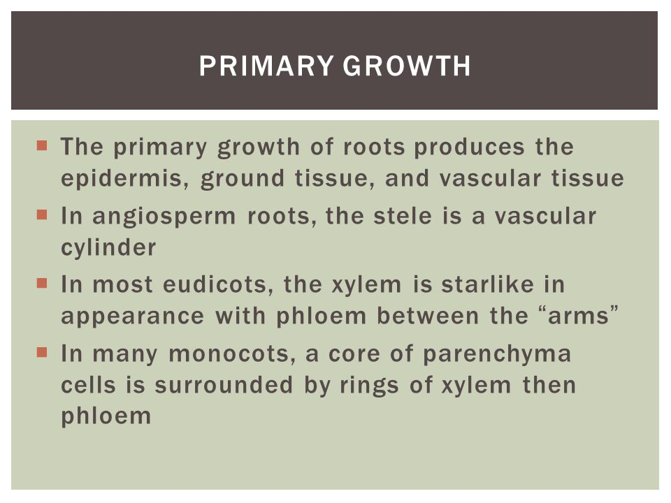  The primary growth of roots produces the epidermis, ground tissue, and vascular tissue  In angiosperm roots, the stele is a vascular cylinder  In