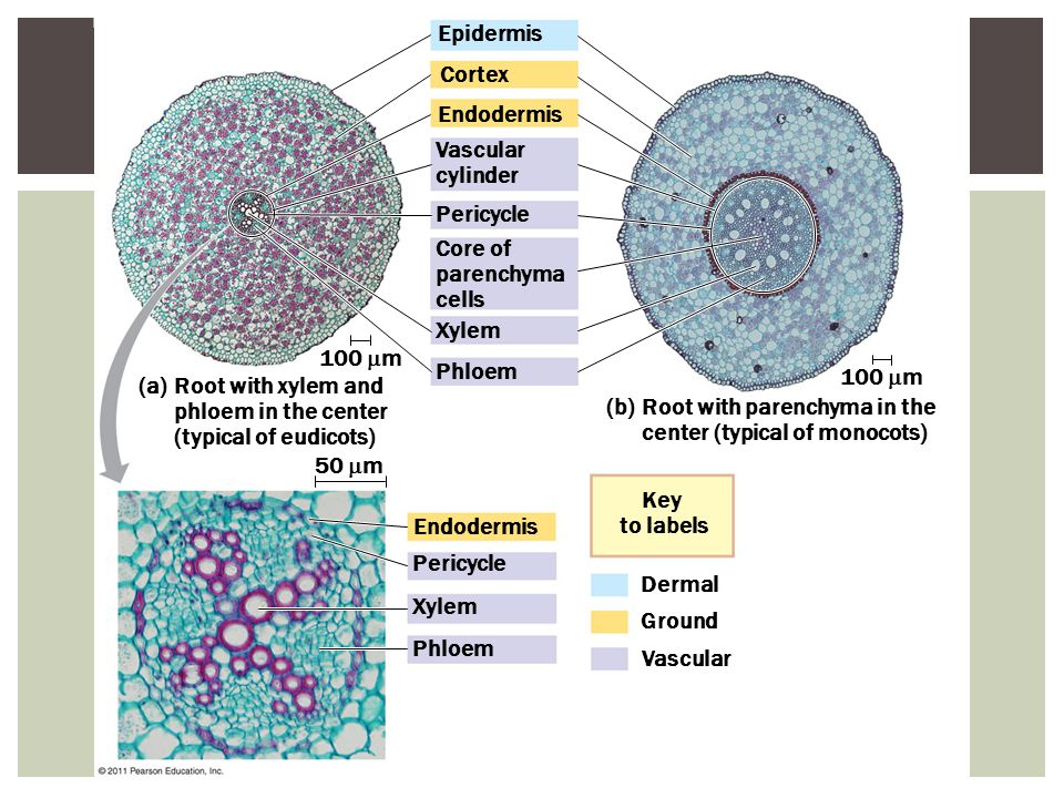 Epidermis Cortex Endodermis Vascular cylinder Pericycle Core of parenchyma cells Xylem Phloem Endodermis Pericycle Xylem Phloem Dermal Ground Vascular