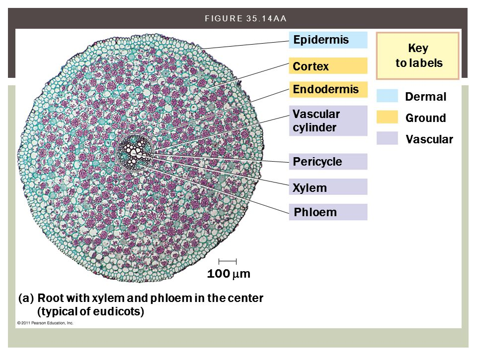 FIGURE 35.14AA Epidermis Cortex Endodermis Vascular cylinder Pericycle Xylem Phloem 100  m (a) Root with xylem and phloem in the center (typical of e