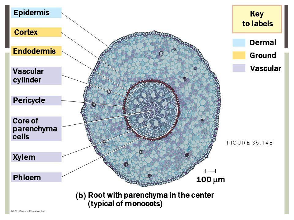 Dermal Ground Vascular Key to labels Epidermis Cortex Endodermis Vascular cylinder Pericycle Core of parenchyma cells Xylem Phloem 100  m (b) Root wi