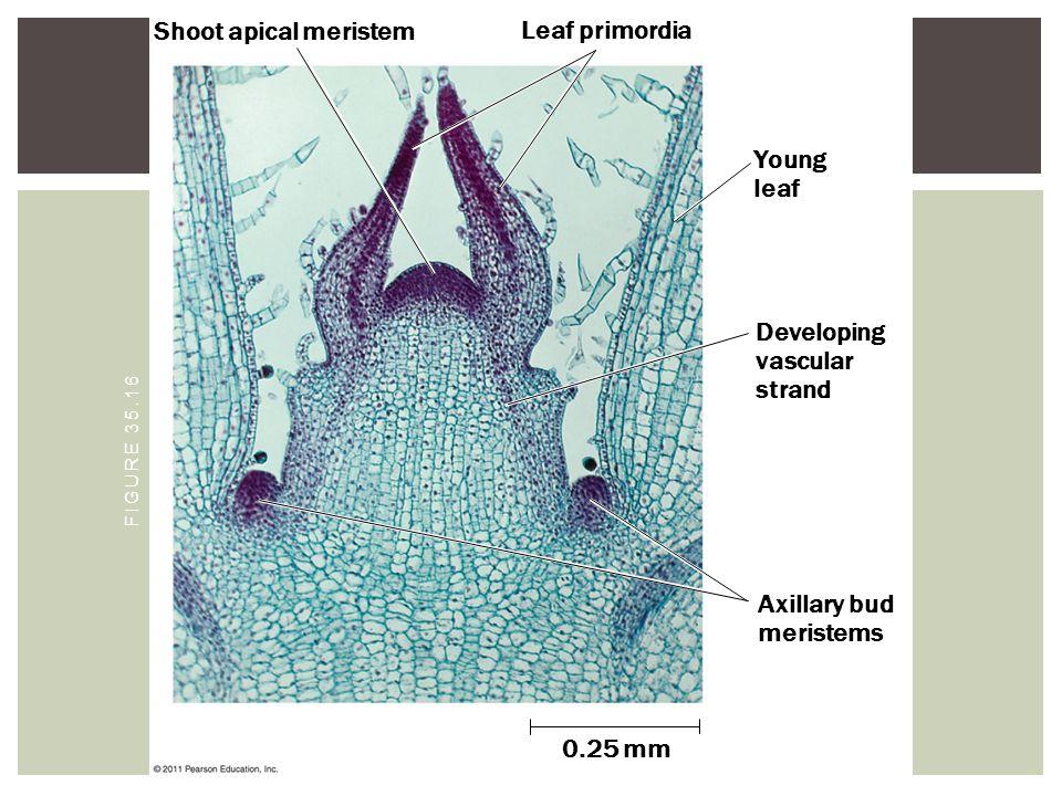 Shoot apical meristem Leaf primordia Young leaf Developing vascular strand Axillary bud meristems 0.25 mm FIGURE 35.16