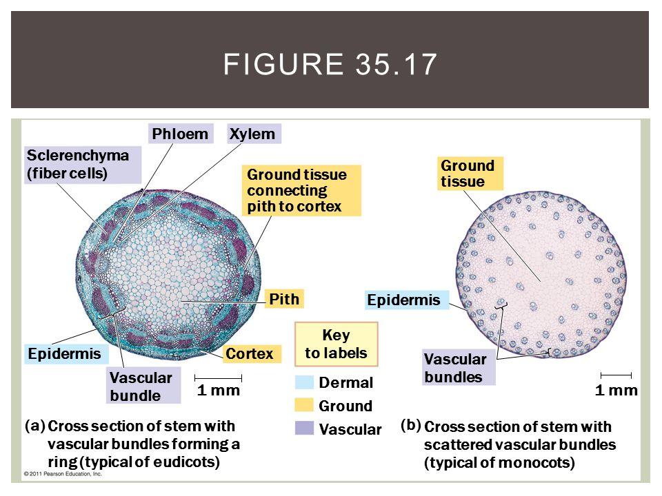 Sclerenchyma (fiber cells) Phloem Xylem Ground tissue connecting pith to cortex Pith Cortex Vascular bundle Epidermis 1 mm Vascular bundles Epidermis