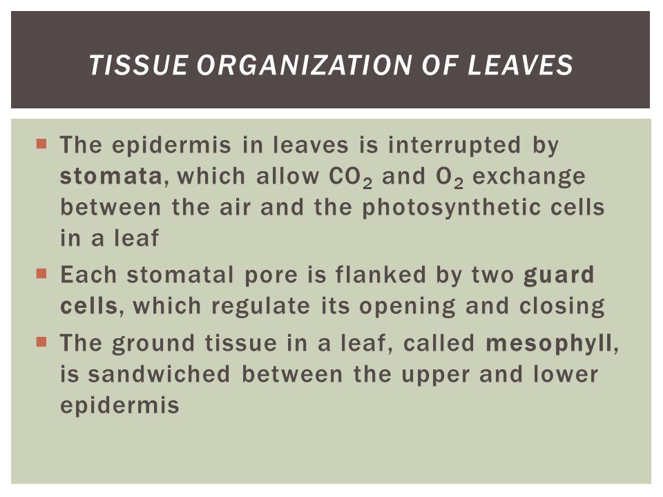  The epidermis in leaves is interrupted by stomata, which allow CO 2 and O 2 exchange between the air and the photosynthetic cells in a leaf  Each s