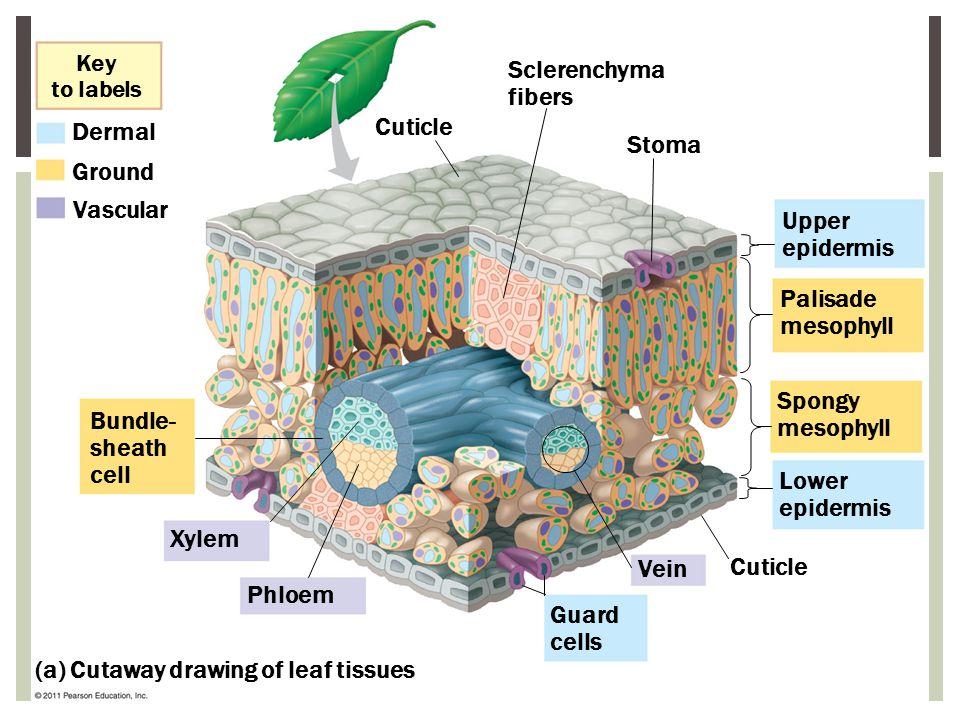 Key to labels Dermal Ground Vascular Cuticle Bundle- sheath cell Xylem Phloem Sclerenchyma fibers Stoma Upper epidermis Palisade mesophyll Spongy meso