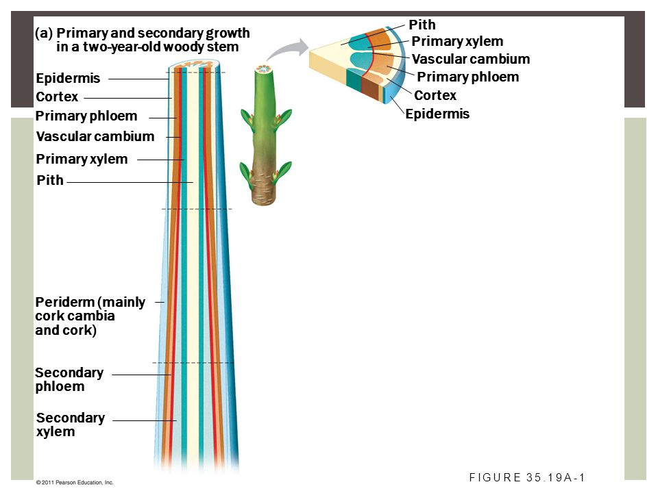 Primary and secondary growth in a two-year-old woody stem (a) Epidermis Cortex Primary phloem Vascular cambium Primary xylem Pith Primary xylem Vascul