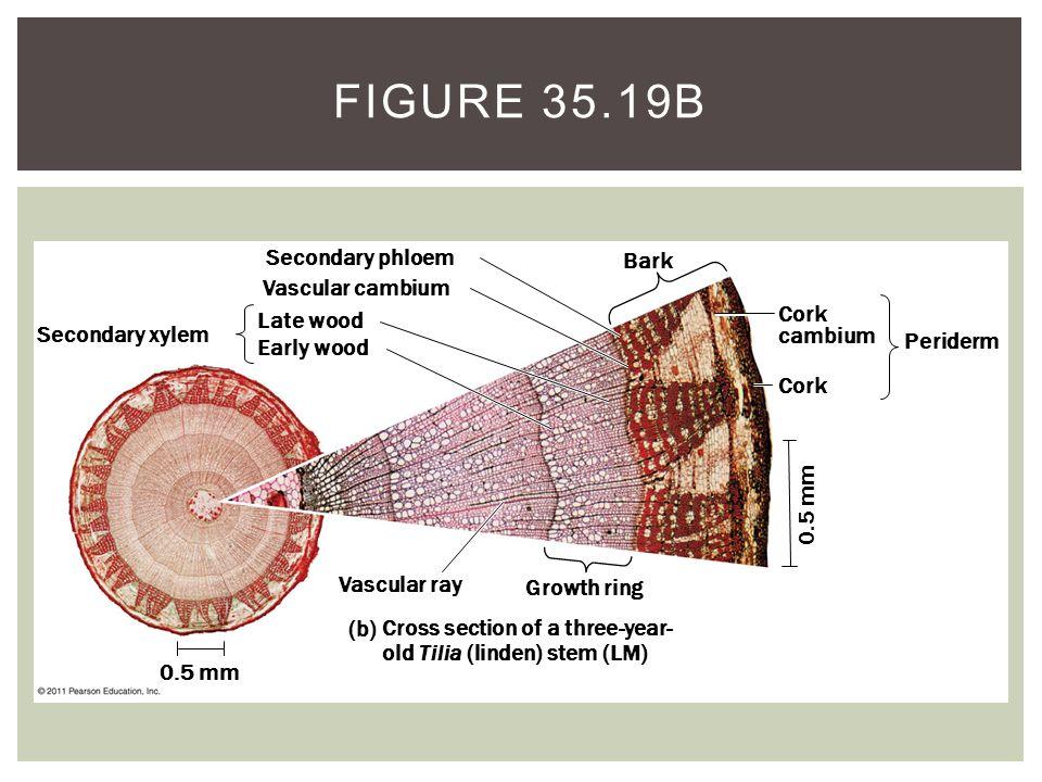 Secondary xylem 0.5 mm Secondary phloem Vascular cambium Late wood Early wood Vascular ray Growth ring Bark Cork cambium Cork Periderm (b) Cross secti