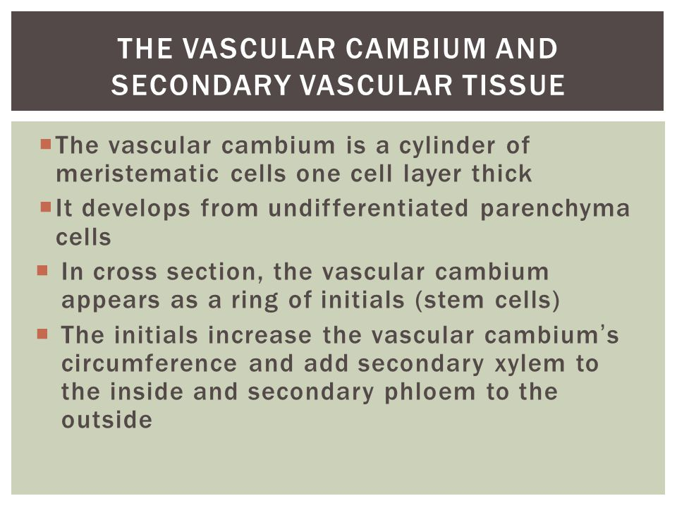  The vascular cambium is a cylinder of meristematic cells one cell layer thick  It develops from undifferentiated parenchyma cells  In cross sectio
