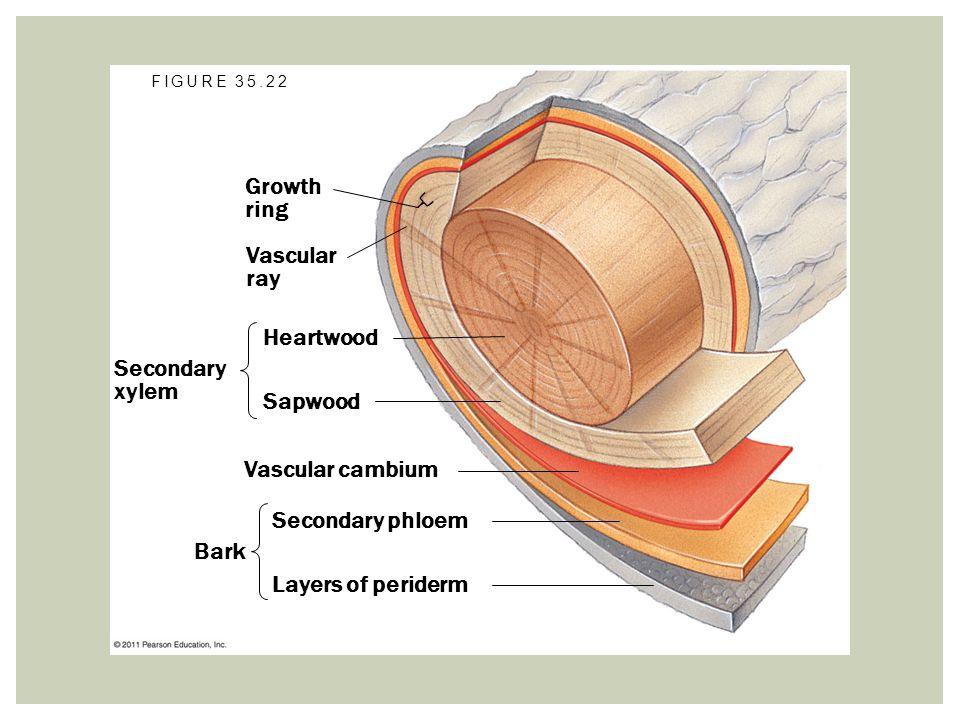 Growth ring Vascular ray Secondary xylem Heartwood Sapwood Vascular cambium Bark Secondary phloem Layers of periderm FIGURE 35.22