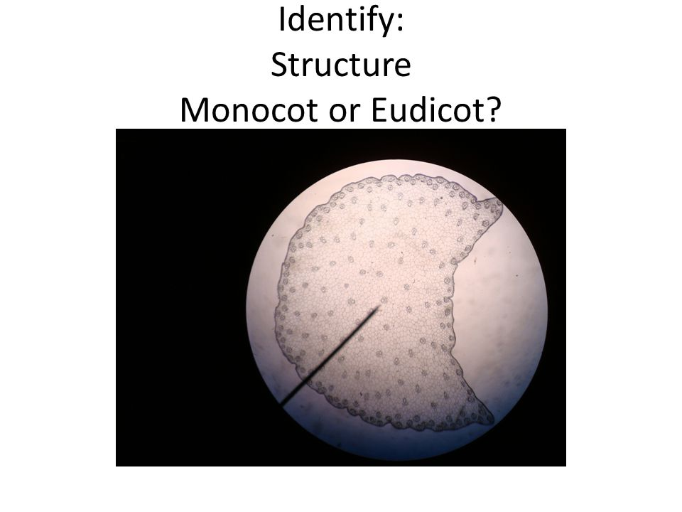 Identify: Structure Monocot or Eudicot