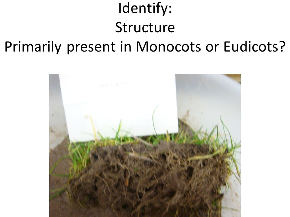 Identify: Structure Primarily present in Monocots or Eudicots