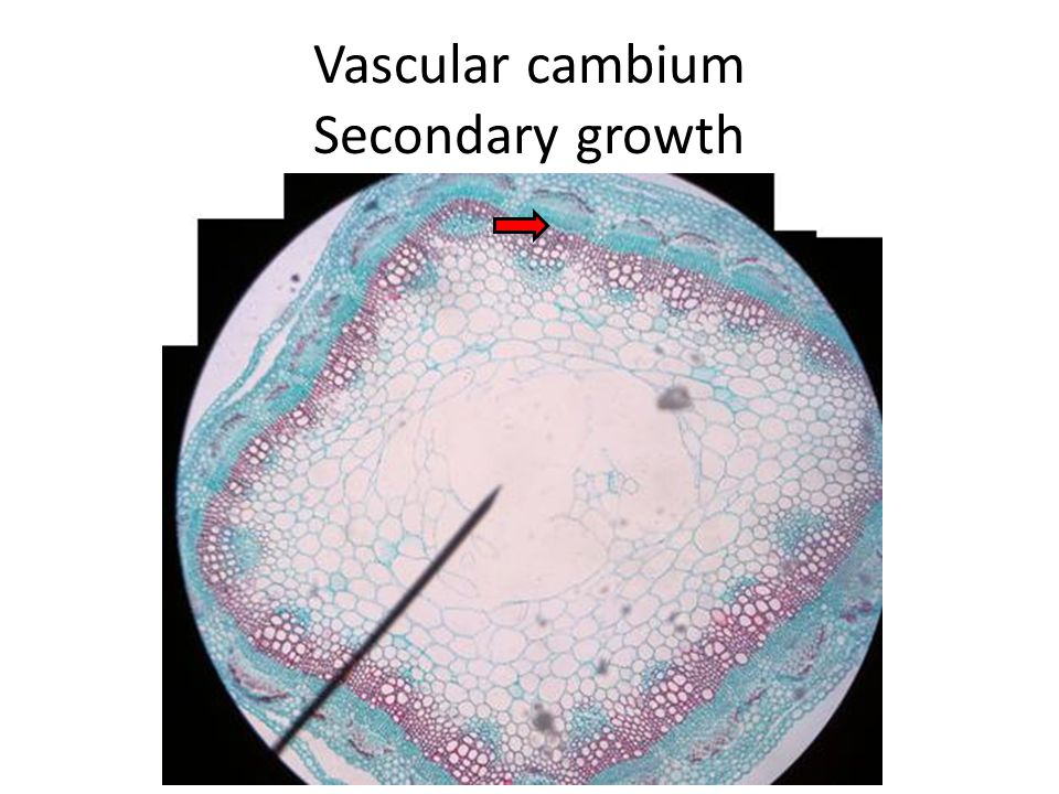 Vascular cambium Secondary growth